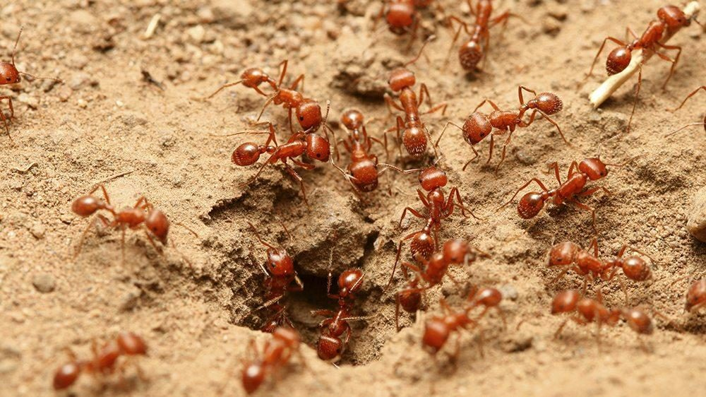 How do you get rid of fire ants in your garden
