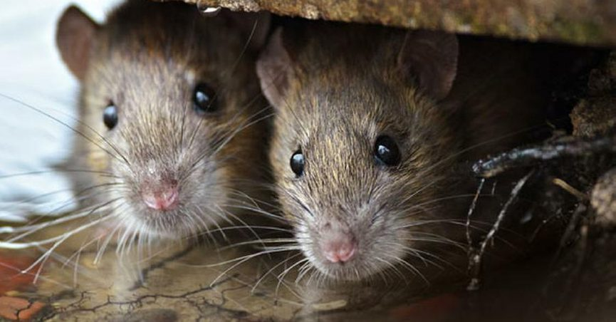 750080874a2 Accounts warn of death and disease caused by rat urine on soda cans. True  stories
