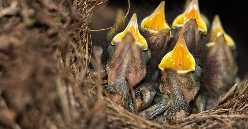 Will Baby Birds Be Rejected by Their Mother If You Handle Them?