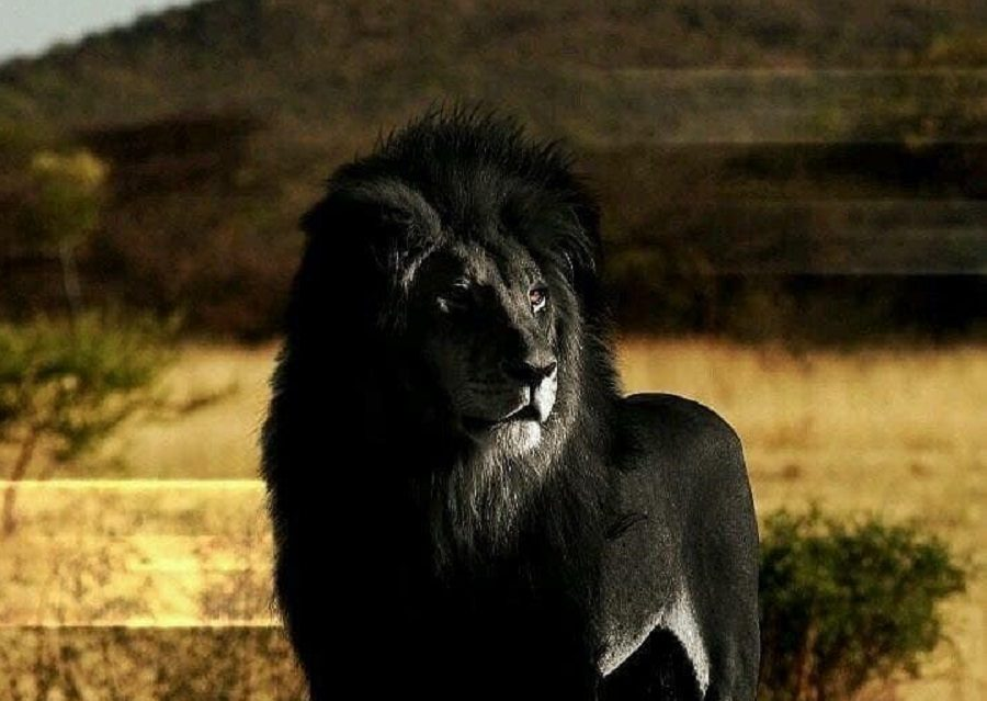 Is this a Photograph of a Black Lion?
