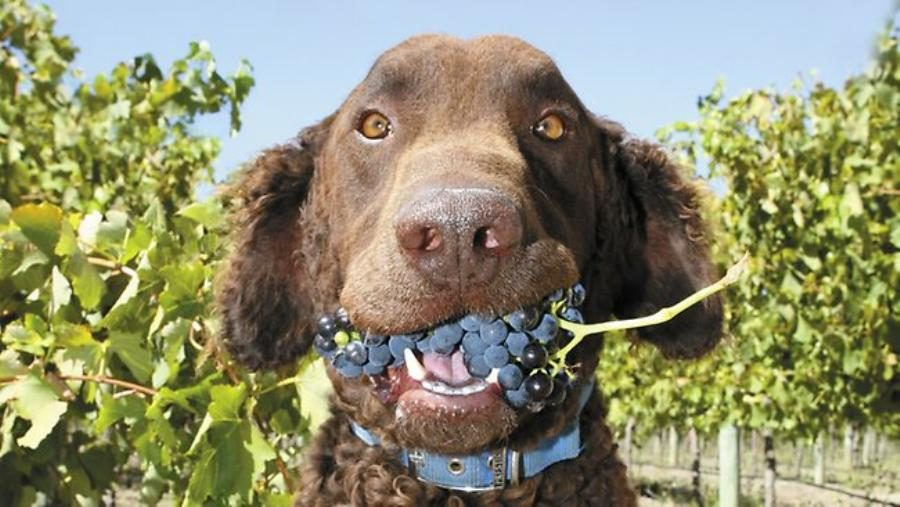 Are Raisins and Grapes Toxic to Dogs?