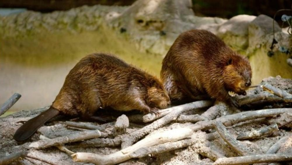 What is a group of beavers called