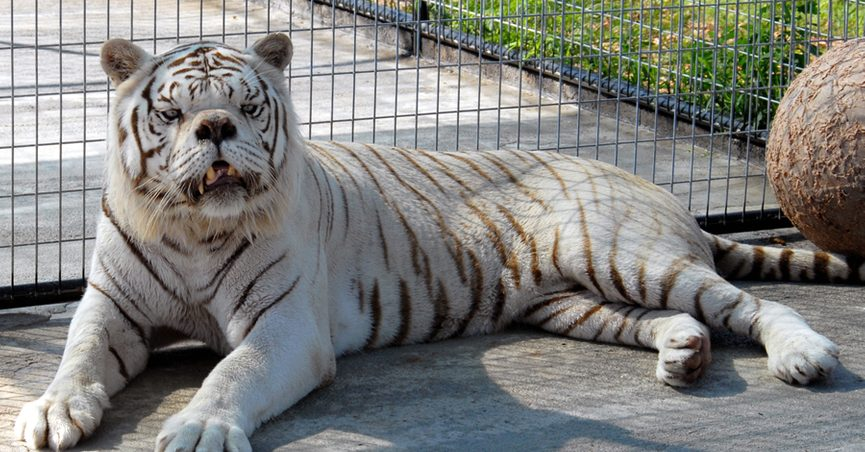 Tiger Down Syndrome