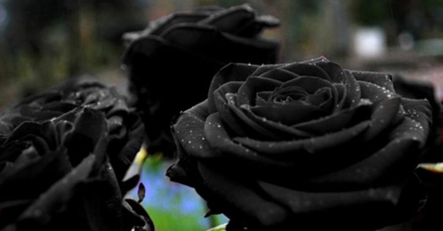 Fact Check Rare Black Rose Only Grows In A Village In Turkey
