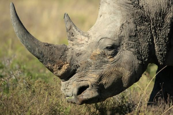 Have 3D Printed Rhino Horns Been Developed to Stop Poaching?