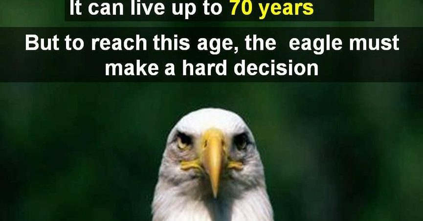 Bald Eagles Mate For Life But When One S The Survivor Will Not Hesitate To Accept A New During Breeding Season Both Birds Protect Nest