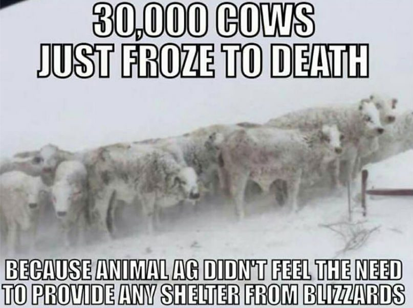 Did 30000 Cows Freeze To Death In A Winter Storm