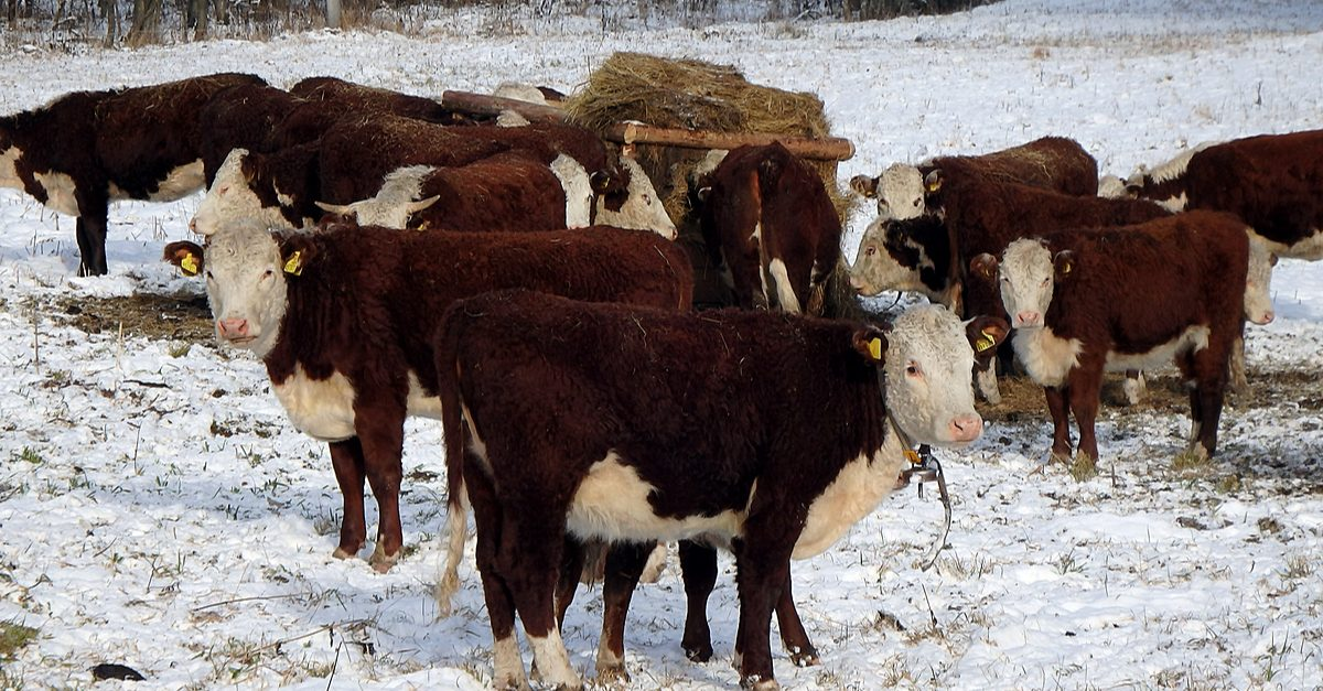 Cattle health benefits of 'drinking' snow: