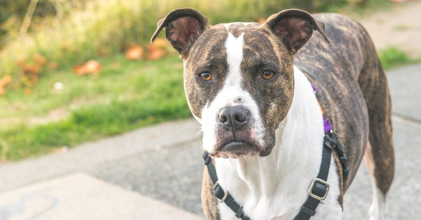 FACT CHECK: Is This Halloween 'National Kill a Pit Bull Day'?