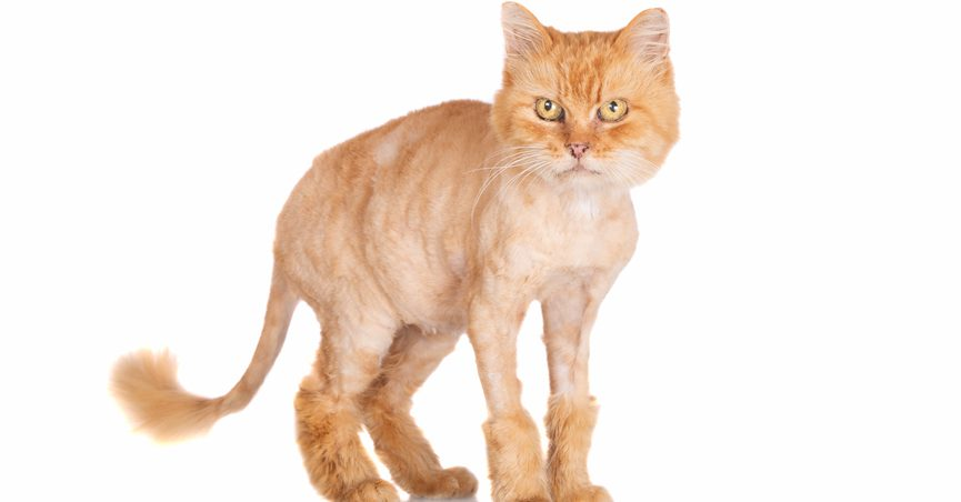 Shaved, angry-looking orange cat