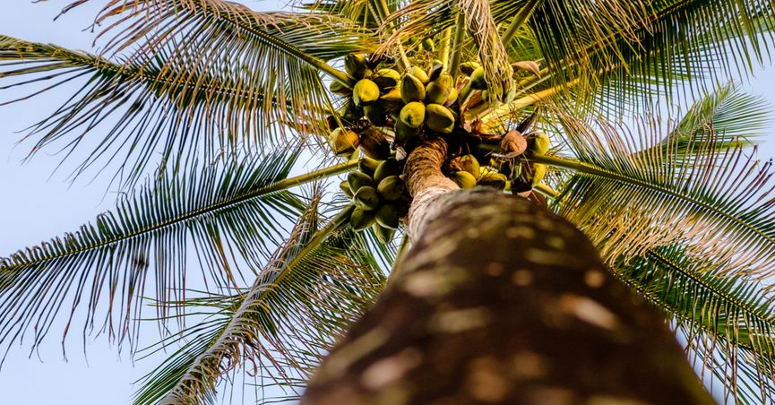 Worms-eye-view of coconuts on palm tree