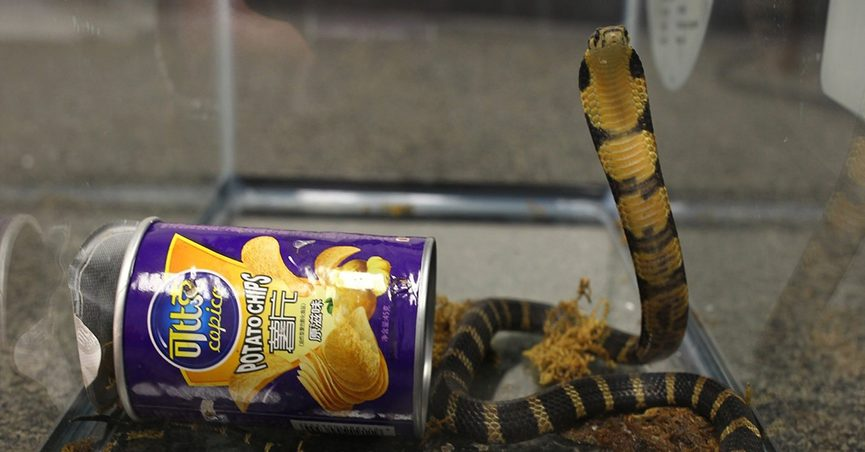 King cobra next to the potato chip can it was smuggled in