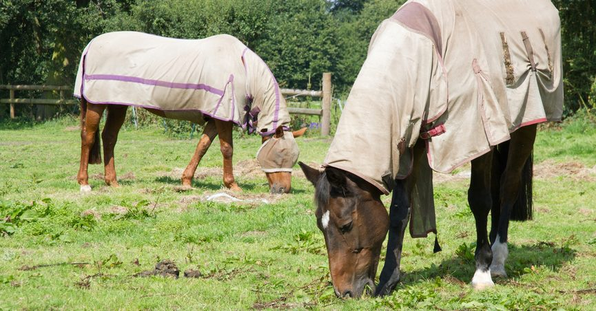 Horses wearing fly coats for protection