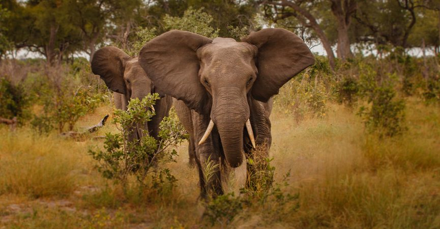 United States to Reverse Ban on Wildlife Trophies?