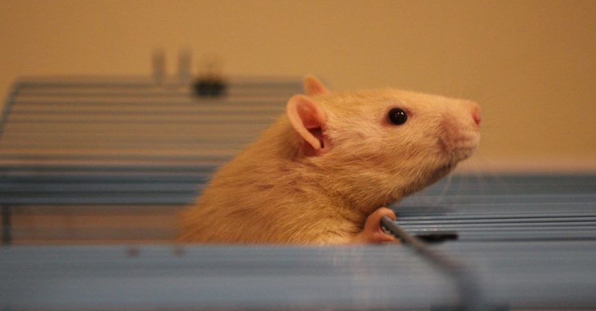 Fancy rat peeping out of its cage.