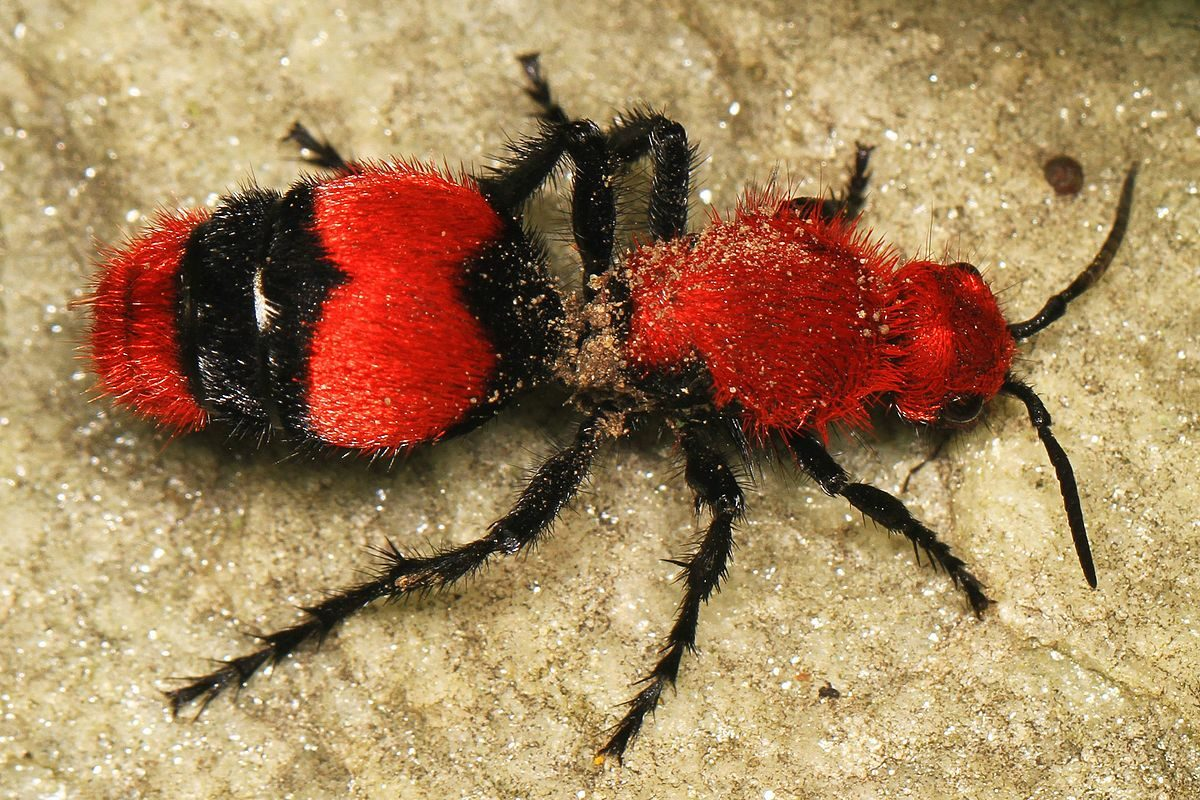Is This a Velvet Cowkiller Ant?