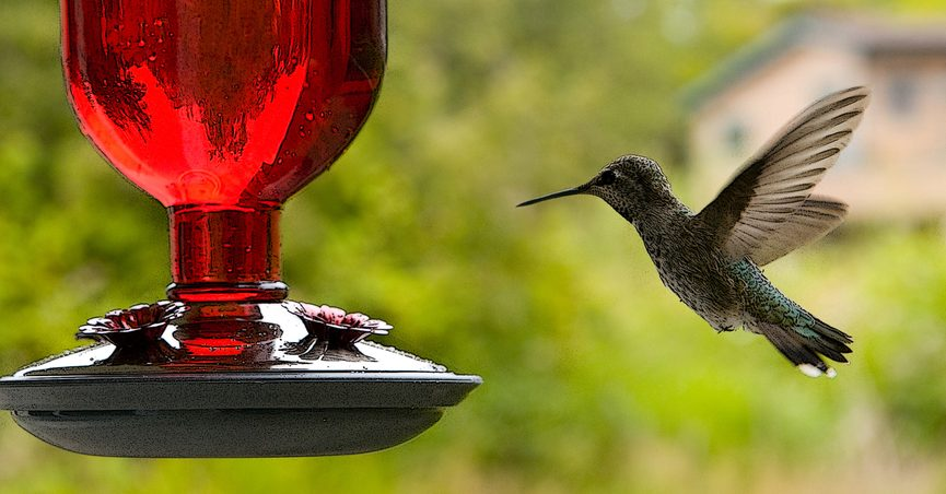 FACT CHECK: Is Red Dyed-Nectar Harmful to Hummingbirds?