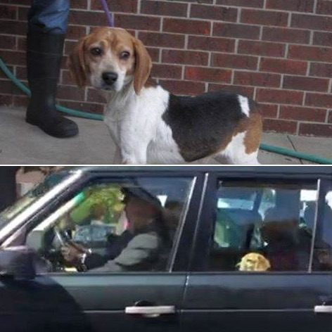 meghan markle rescued guy the beagle