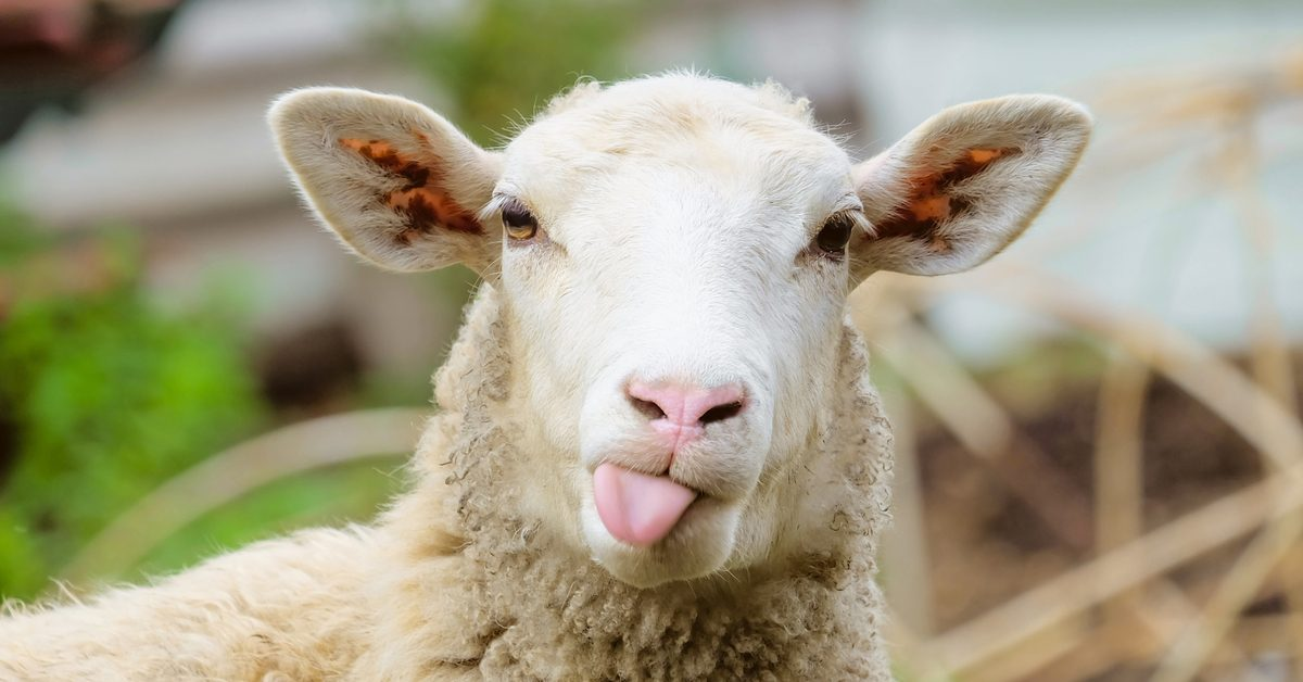 Was a New Zealand Farmer Arrested for Selling Sheep as Sex Slaves to the Islamic State?