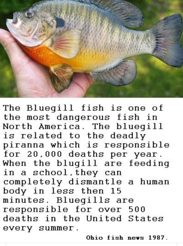 The Bluegill fish is one of the most dangerous fish in North America. The bluegill is related to the deadly piranna which is responsible for 20,000 deathes per year. When the blugill are feeding in a school, they can dismantle a human body in less then 15 minutes. Bluegills are responsible for over 500 deaths in the United States every summer. -- Ohio fish news 1997