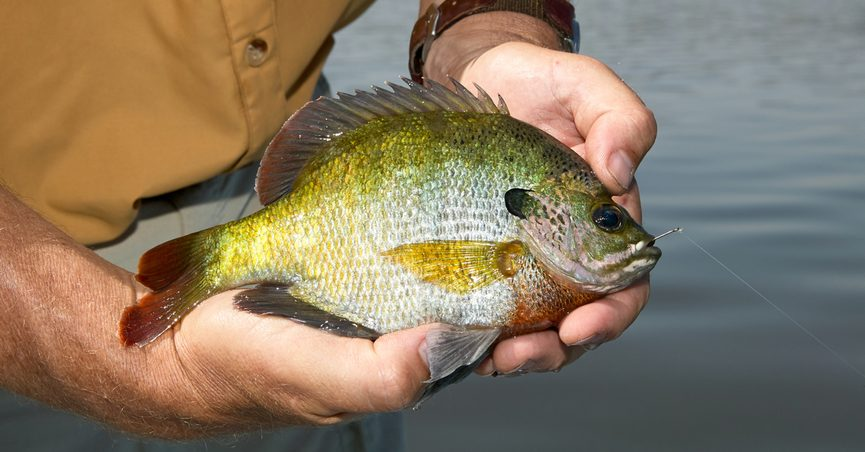 Is The Bluegill One Of Most Dangerous Fish In North America