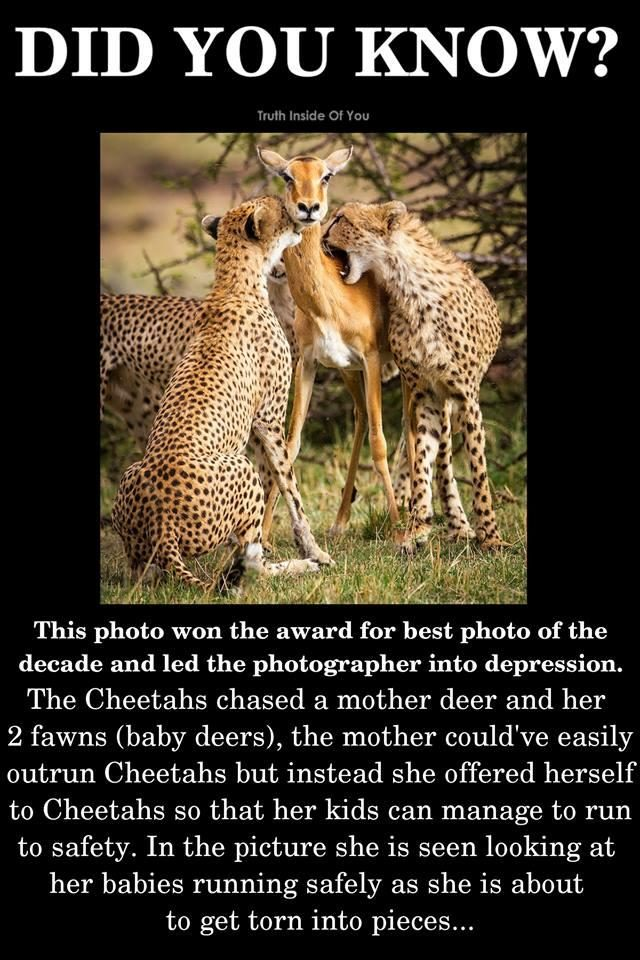 Fact Check Did A Mother Deer Sacrifice Herself To Cheetahs To Save