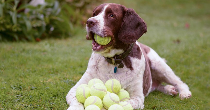 Those incredibly 'unreliable' DOGS............again! - Page 9 Dog_tennis_ball