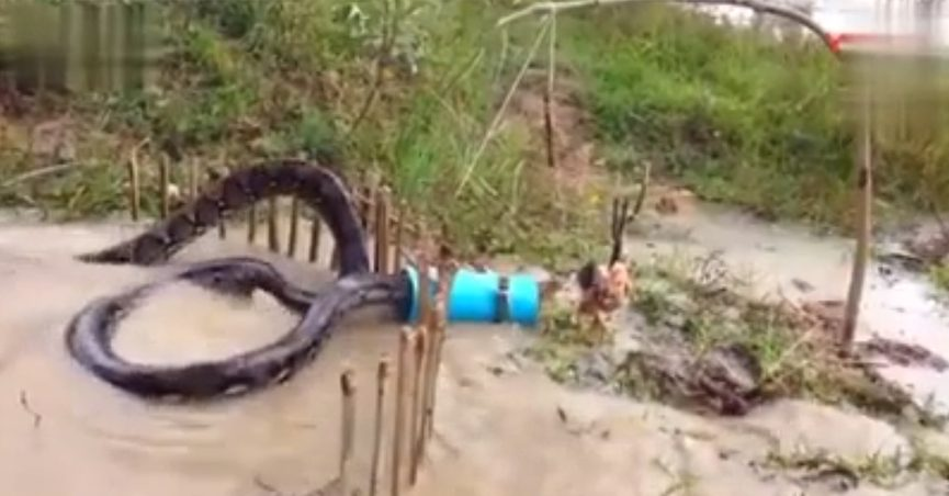 Screenshot of a video of a snake being caught in a trap.