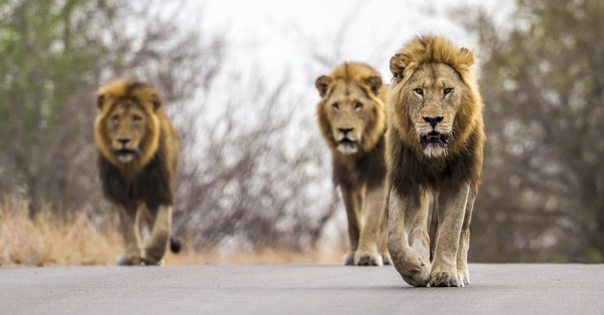 Did a Pride of Lions Kill and Eat a Suspected Poacher in South Africa?