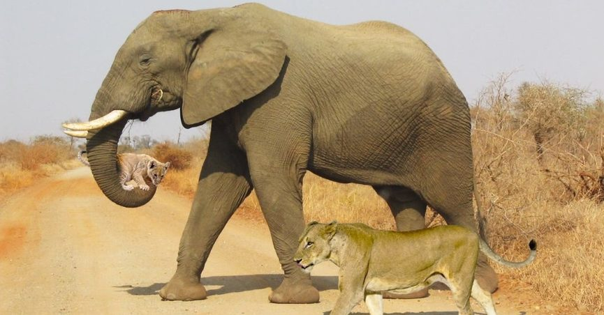 Is This A Photograph Of An Elephant Carrying Lion Cub