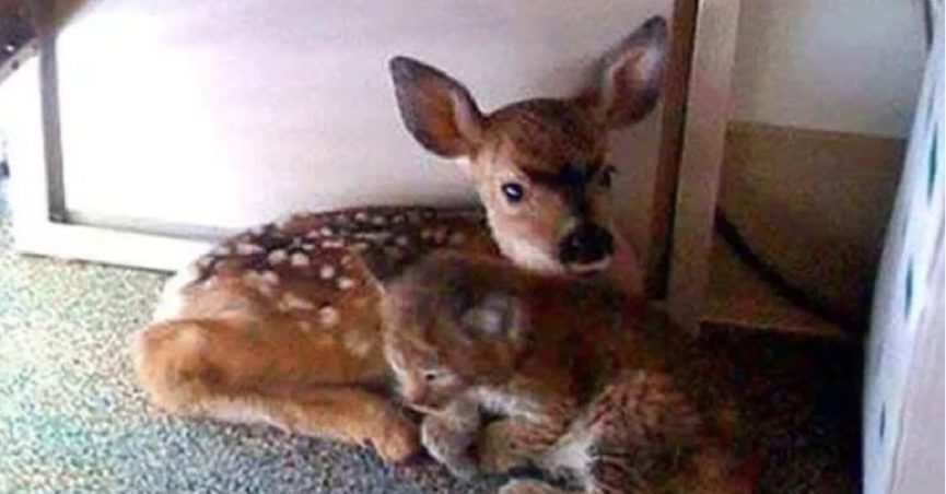 Were This Fawn and Bobcat Found Huddled Together After a