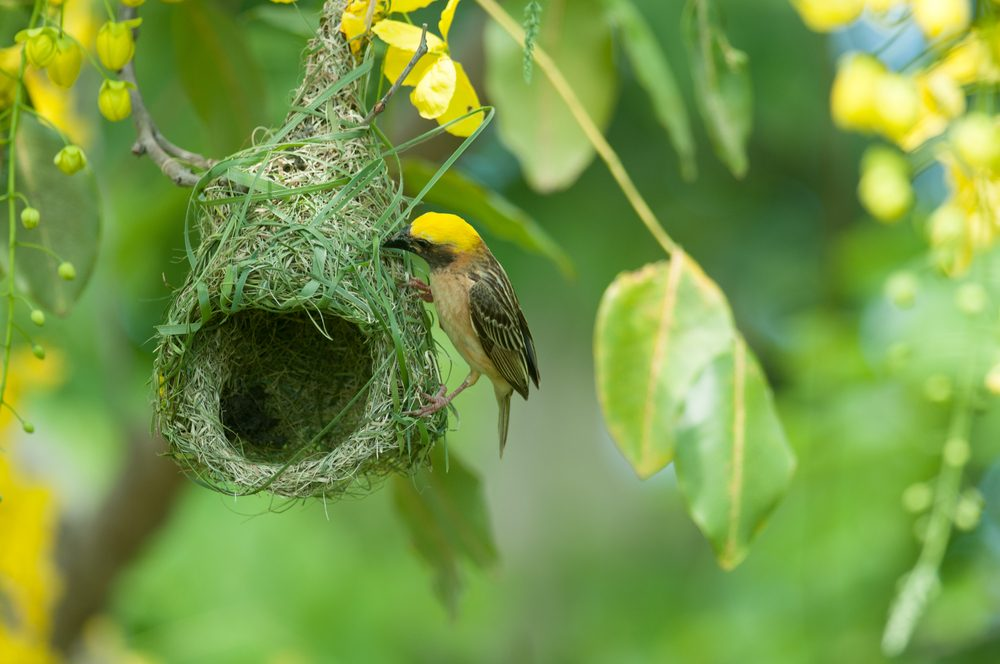 Is The Baya Weaver Bird The Only Animal That Dies When Its
