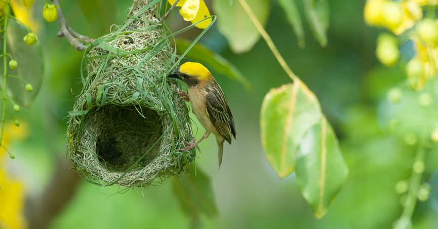 fact check is the baya weaver bird the only animal that dies when