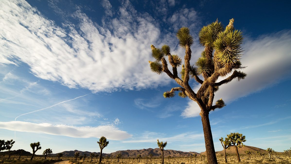 FACT CHECK: Did Visitors to Joshua Tree National Park Cut Down Trees During the Government Shutdown?