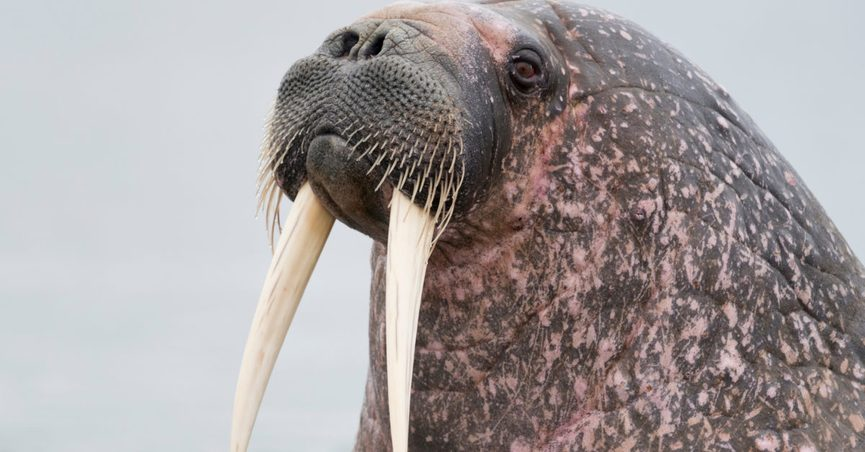 Was a Walrus Really Found Sleeping atop a Submarine?