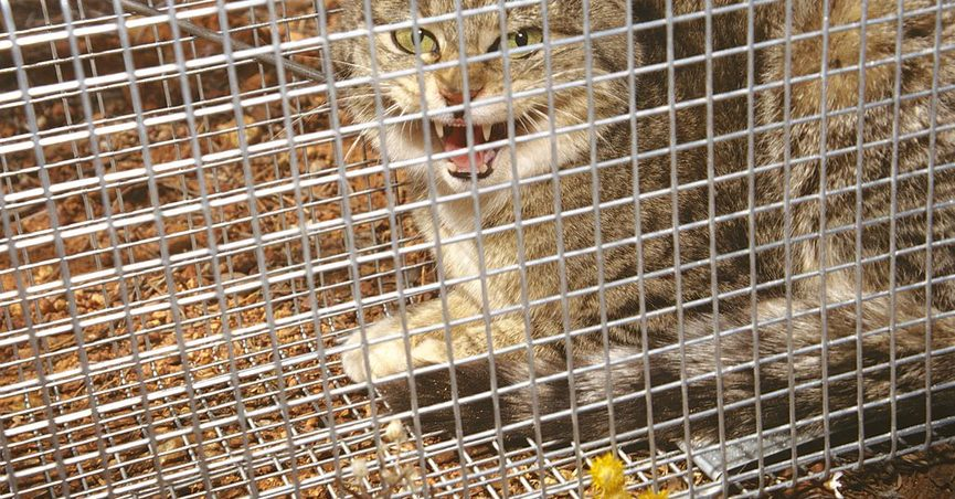 Did Australia Plan to Kill Millions of Feral Cats Using