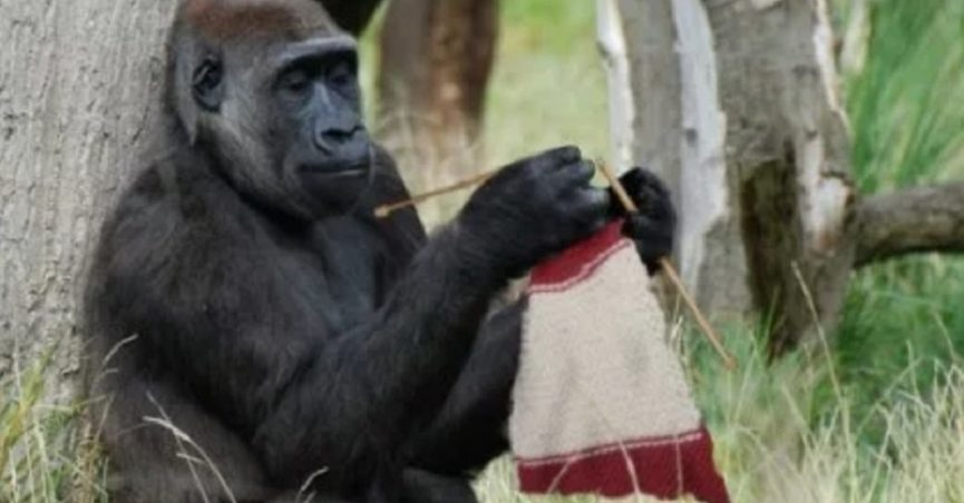 Fact Check Did This Gorilla Learn How To Knit