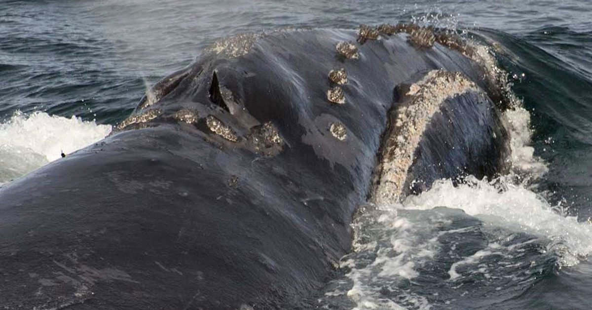 Scientists Record Singing by Rare Right Whale for First Time