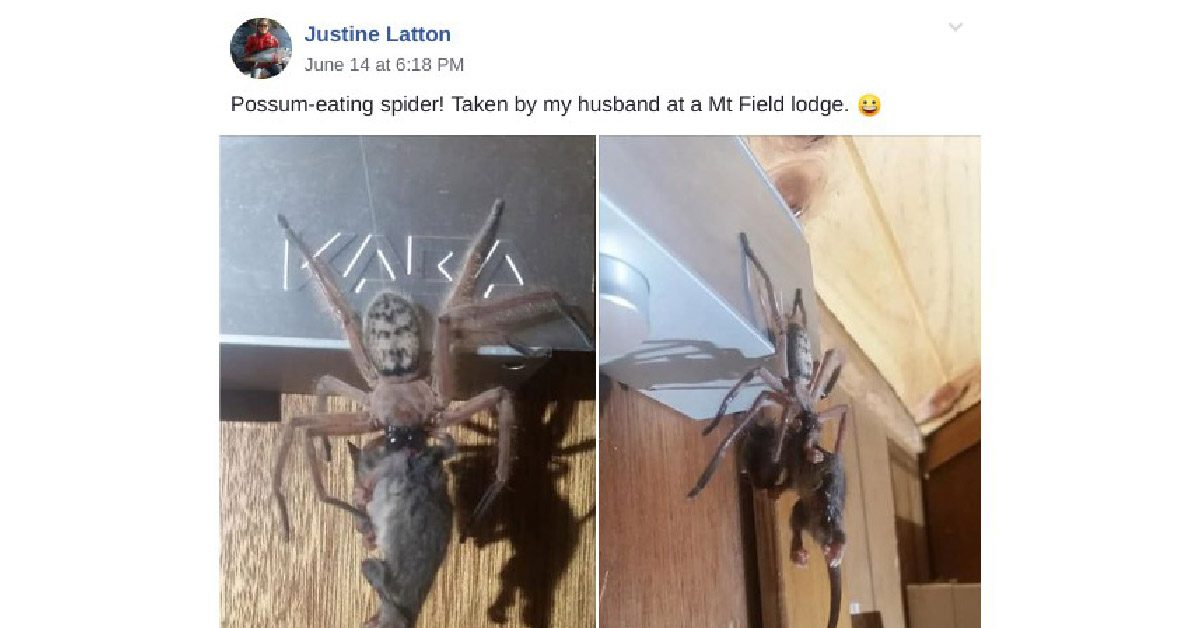 FACT CHECK: Is This a 'Possum-Eating' Spider?