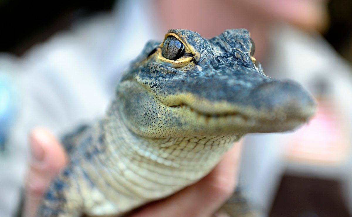 Florida Man Accused Of Forcing Small Alligator To Drink Beer