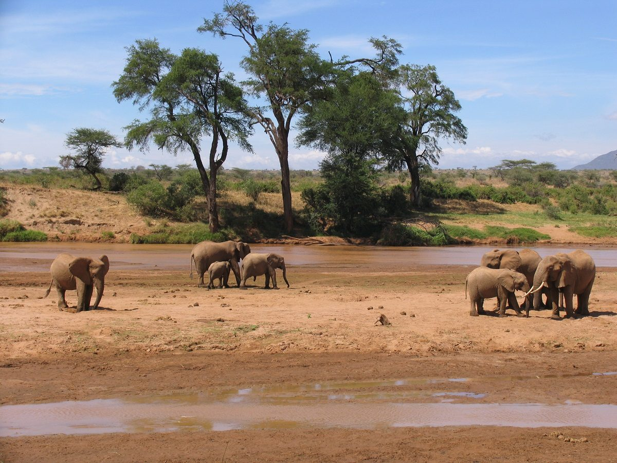 Elephants Get Drunk Because They Cant Metabolize Alcohol Like Us