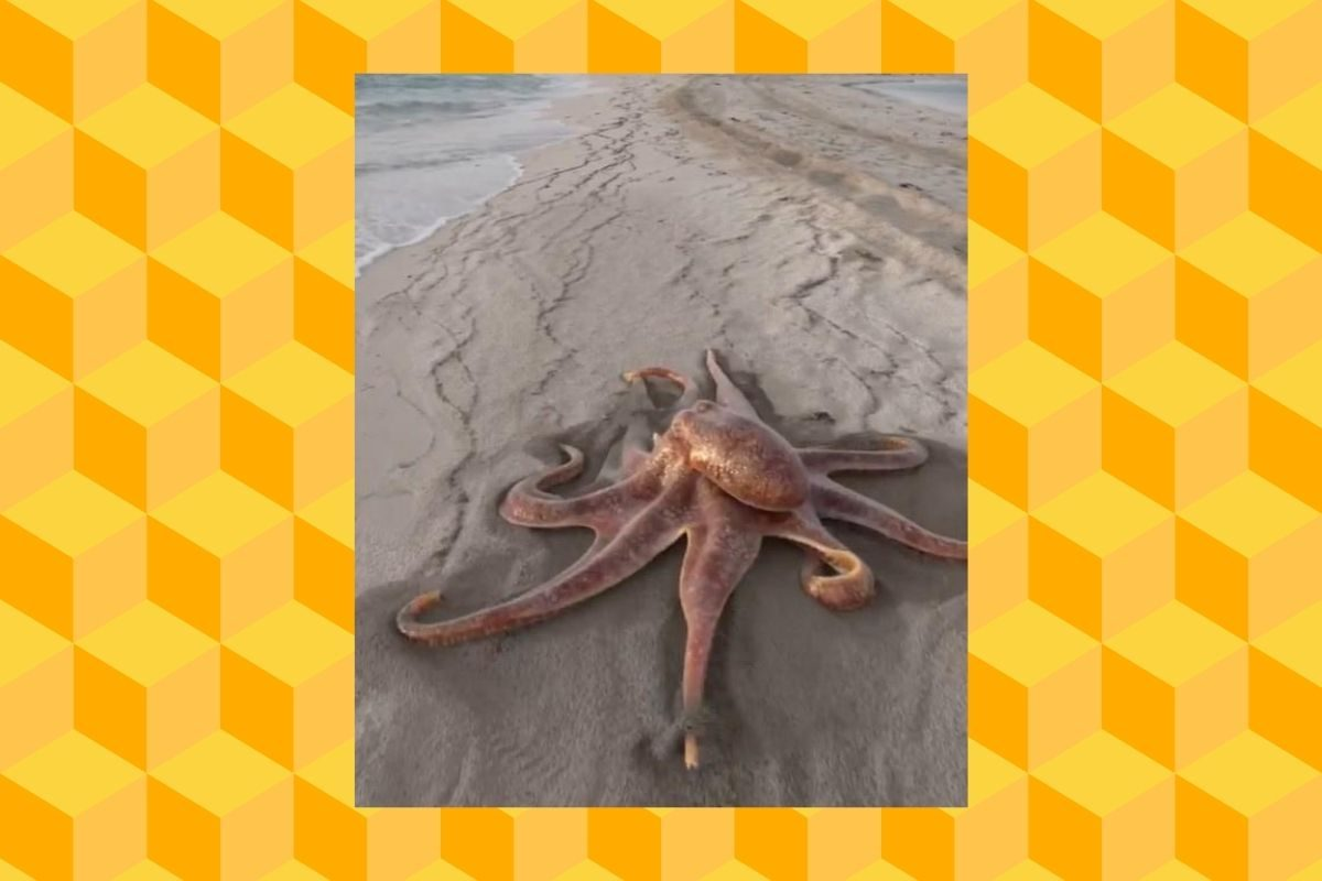Does This Video Show an Octopus Walking on the Beach? - snopes