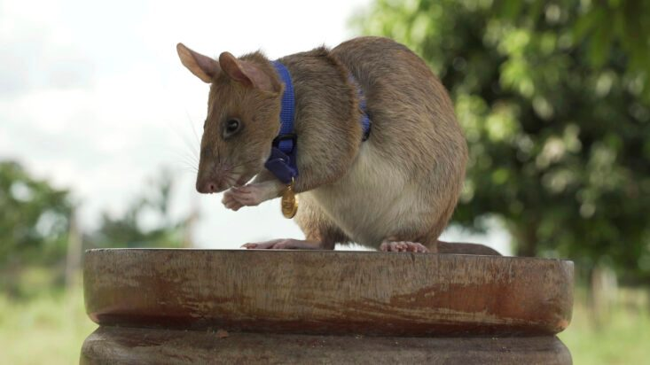 Giant Rat Wins Animal Hero Award for Sniffing Out Landmines - snopes