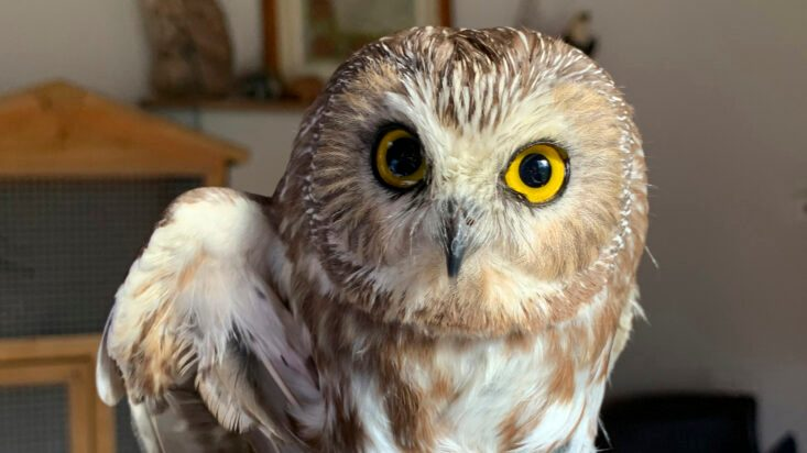 Rocky the Christmas Tree Stowaway Owl Returns to the Wild - snopes