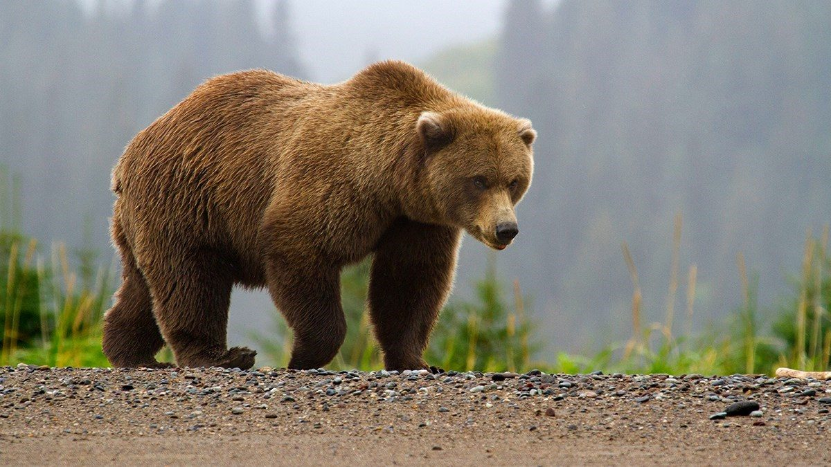 Did a Bear Chase a Skier Down a Mountain? - snopes