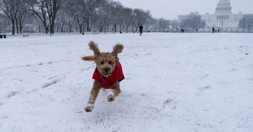 """""""Rosie"""" runs in the snow on the National Mall in front of the U.S. Capitol, Sunday, Jan. 31, 2021, in Washington. (AP Photo/Alex Brandon)"""
