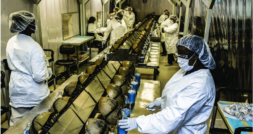 Horseshoe crabs are milked for their blue blood.