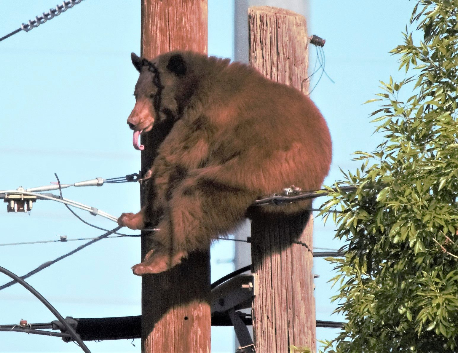 Bear Has Close Call on Utility Poles in Arizona Border City - snopes