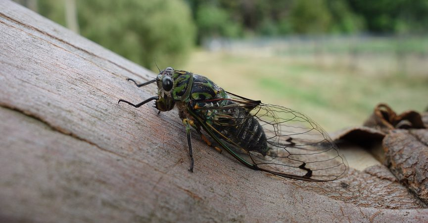 A fungus called Massospora circadian could infect Brood X cicadas as they were set to emerge in May 2021.