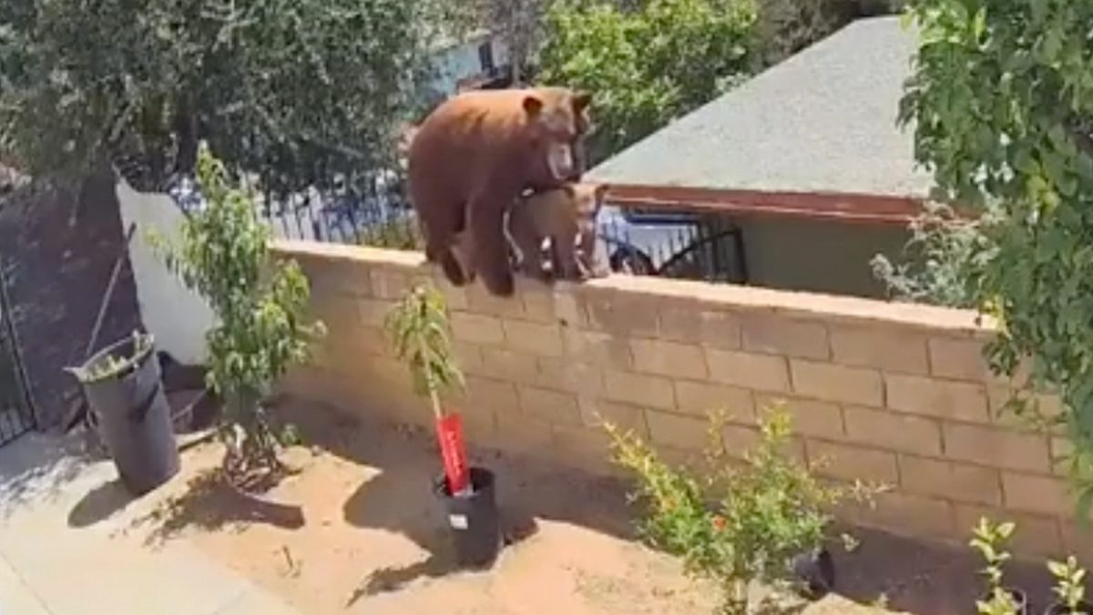 A California woman appeared to push a brown bear off her fence to save her dogs.